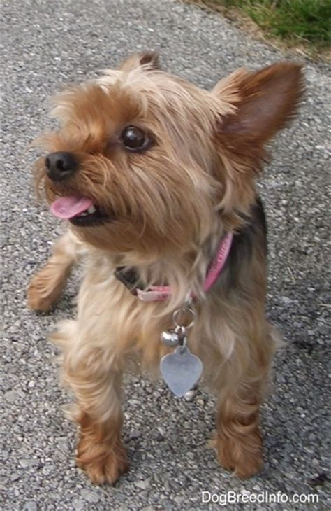 10 year yorkie behavior terrier breed pictures yorkie page 3