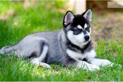 alaskan klee puppies for sale pictures of alaskan klee puppies breeds picture