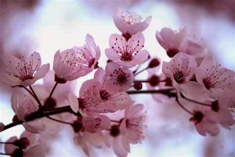 cherry blossoms images uploaded by user
