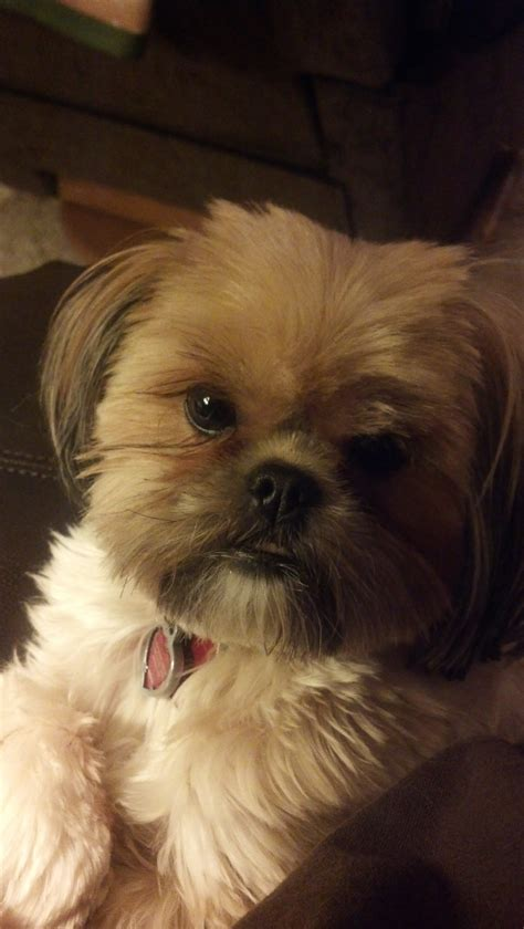 shorkie hair styles yorkie with floppy ears cuts dog breeds picture