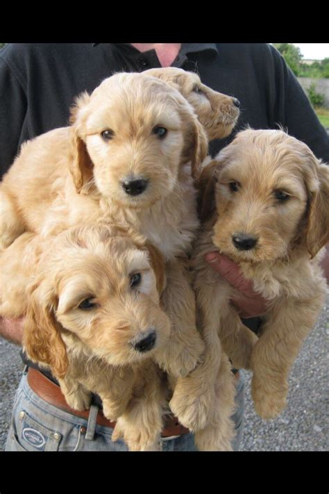 doodlebug oldham a beautiful labradoodle puppies oldham greater
