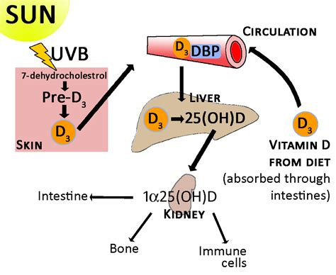 Vitamin Metabolisme research review vitamin d and your genes
