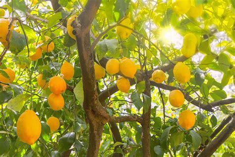Garten Pflanzen Beschneiden by Zitronenbaum Schneiden Garten Tipps Garten