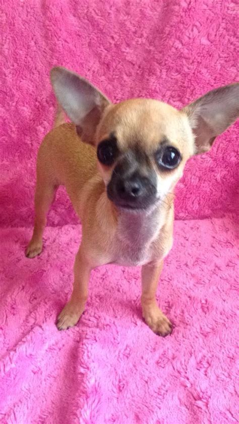 apple chihuahua puppies 1 beautiful apple chihuahua puppy for sale wrexham wrexham pets4homes