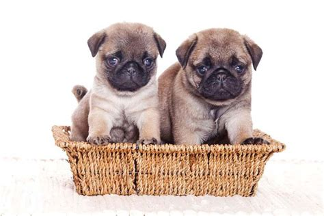 why do pugs eat their own puppy names your boy will