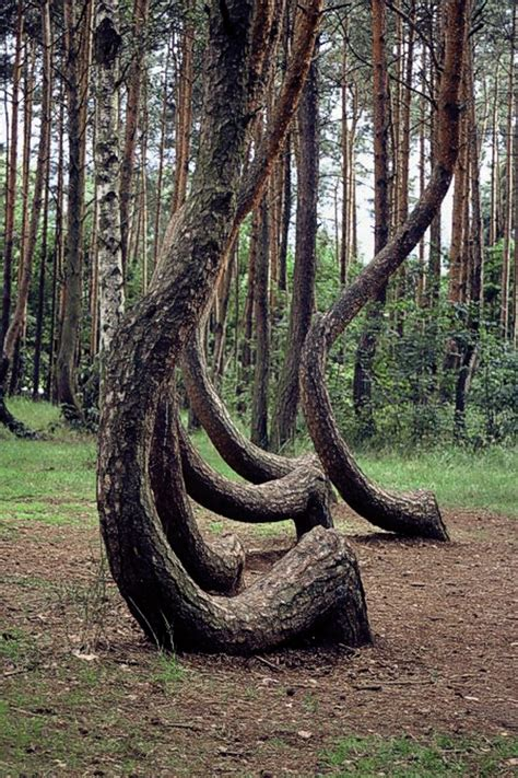 crooked forest poland krzywy las poland collecting wonder