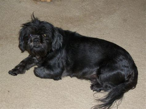 black miniature shih tzu 25 best black shiih tzu pictures and photos