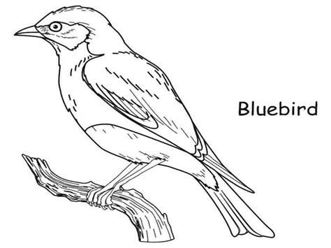 eastern bluebird coloring page pa dcnr geology critters