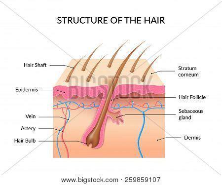 human skin stock photo 169 chaoss 1695911 human hair anatomy vector photo free trial bigstock