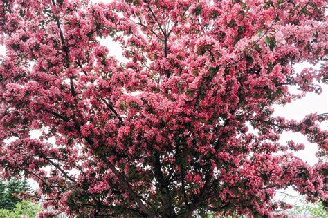 free photo pink tree spring flower blossom free