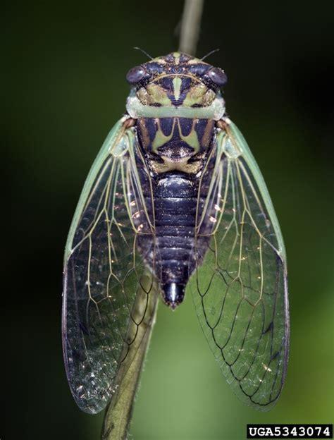 day cicada uf sfrc 4 h cicada