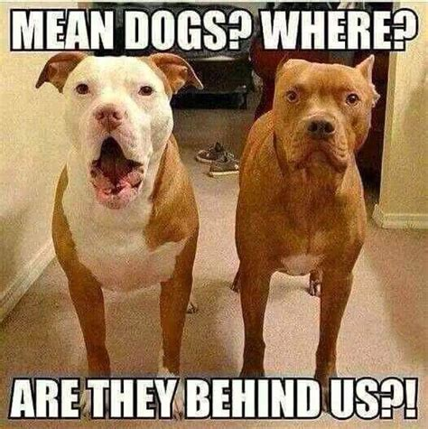 Pitbull Puppy Meme - pit bull meme woman s best friend pinterest memes