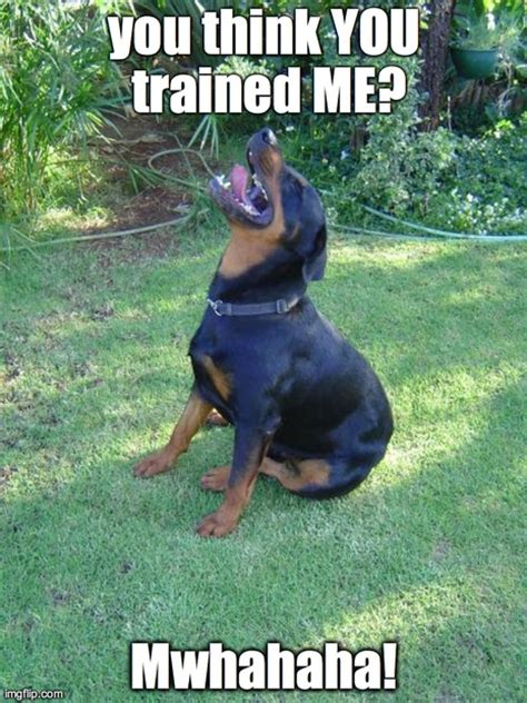 guilty dog imgflip in rottweiler funny memes animals dogs made w imgflip meme