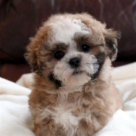teddybear puppies teddy puppies what does like