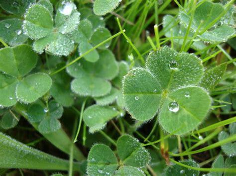 three leaf clover plant top 10 edibles survivopedia