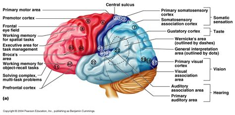 motor association area ch 12 functional areas of the cerebral cortex
