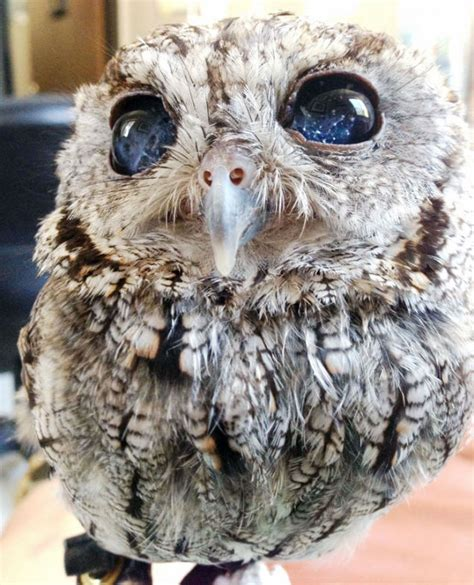 Gw Se F Green Owl this blind screech owl has that are impossible to believe