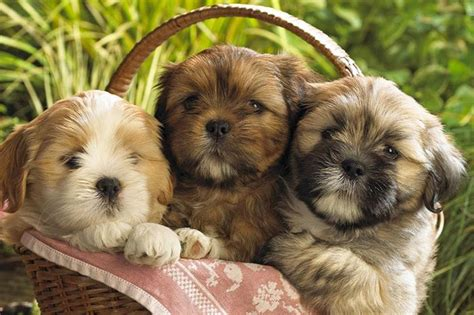 shih tzu pupies 10 amazing things about shih tzu dogs shih tzu facts