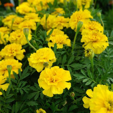 Yellow Marigold yellow marigold seeds greenmylife anyone can garden