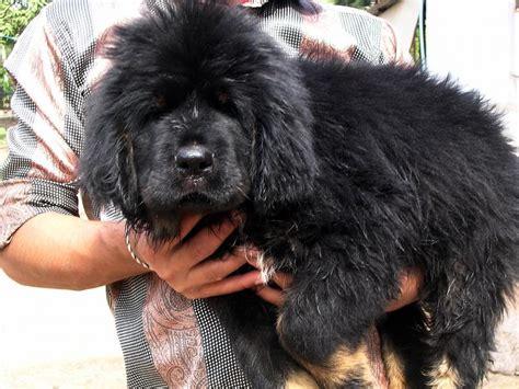 tibetan mastiff price tibetan mastiff dogs price www imgkid the image kid has it