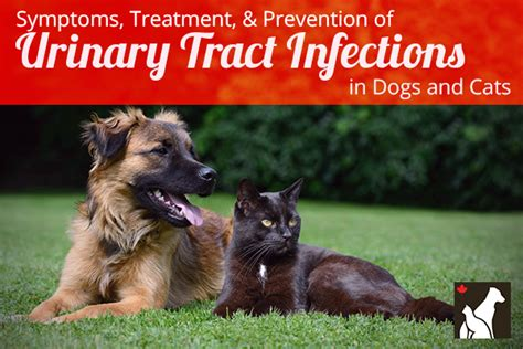 uti in dogs urinary tract infection symptoms breeds picture