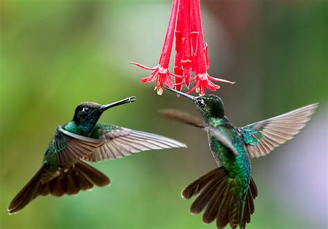 30 nicest hummingbird pictures creativefan