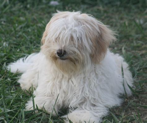 havanese shih tzu papillon havanese mix photos breeds picture