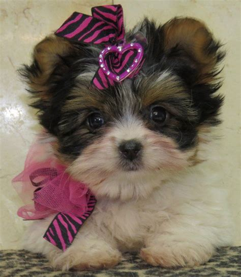 morkie puppies for sale in michigan www ohpuppylove morkie shorkie maltipoo breeder puppies puppy dogs