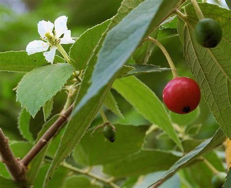 Daun Kersen Daun Talok Muntingia Calabura L Obat Alami the health benefits from a roadside tree of kersen v for