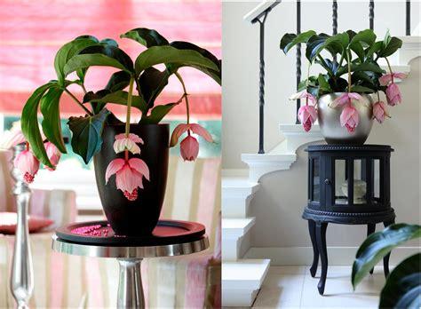 Cascading Indoor Plants medinilla website