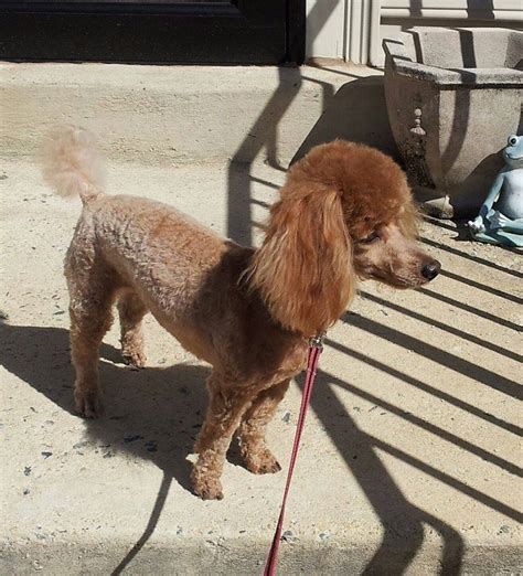 groomers in my area what are grooming costs in your area page 2 poodle forum standard poodle