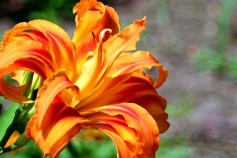 file orange lily jpg