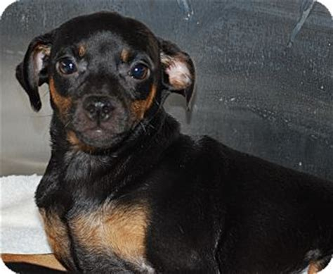 min pin and pug mix pet not found