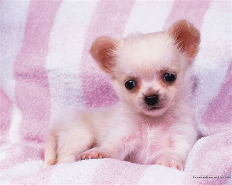 wallpapers for desktop cute puppies cute puppy desktop wallpapers wallpaper cave