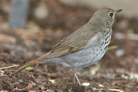 backyard birds utah hermit thrush at draper salt lake county utah 16 may