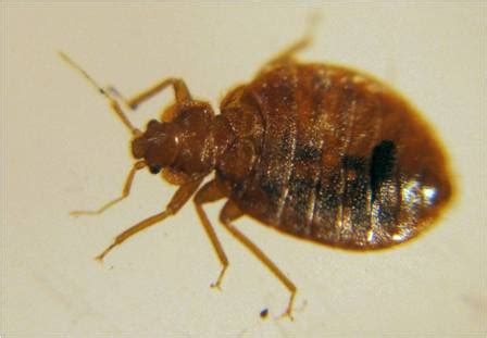 female bed bug bed bug identification signs and pictures