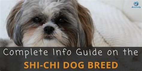 shih tzu chi mix shih tzu chihuahua mix shichi everything you need to