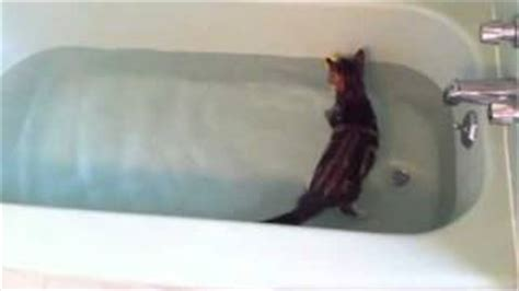 kitten swimming in bathtub all comments on toby the bengal cat swimming in bathtub youtube