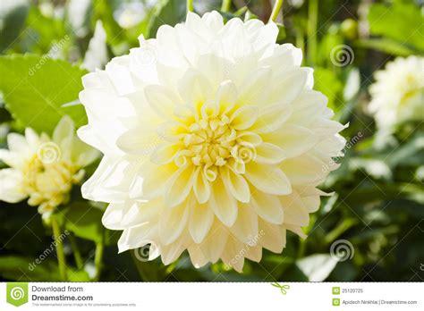 la flor de dalia laberinto flores blancas de la dalia imagen de archivo imagen de