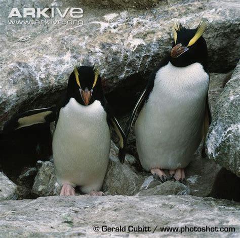 Baby Erect Crested Penguin | www.pixshark.com - Images ...