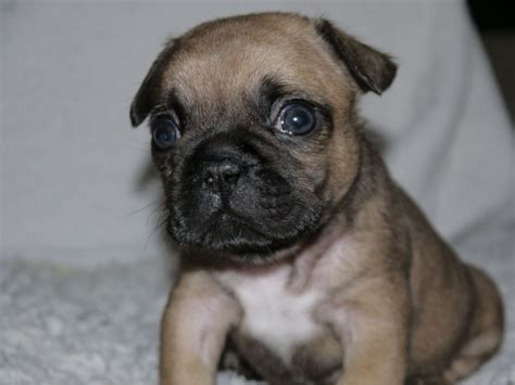pugs for sale uk cheap 2017 mini bulldog x pug puppies for sale rescue pictures images wallpapers