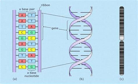 section of dna an introduction to data and information 5 1 1 what is dna