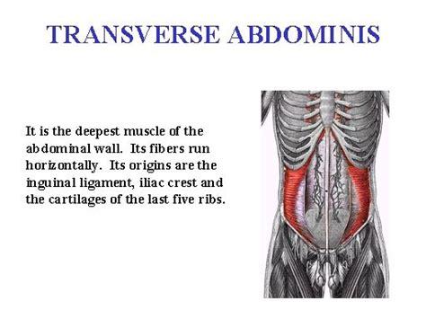 transverse abdominis pregnancy fertility weaning definitions