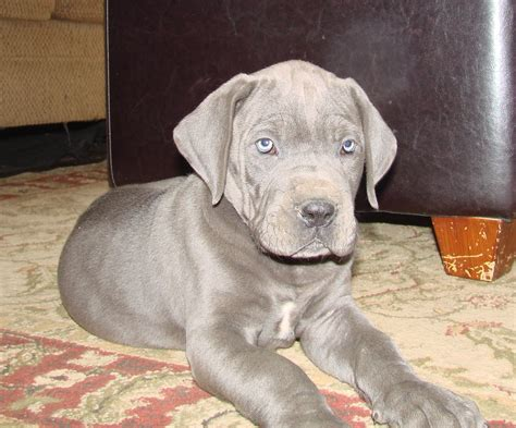 puppies with blue for sale blue great danes for sale in kentucky blue great dane breeder symsonia ky