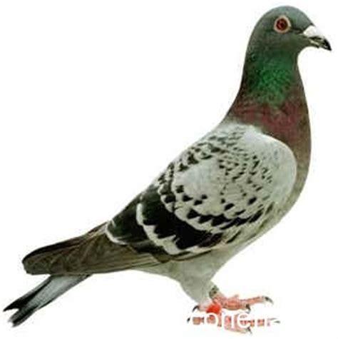 come cucinare il piccione vocalizzazioni rapaci e schede sintetiche