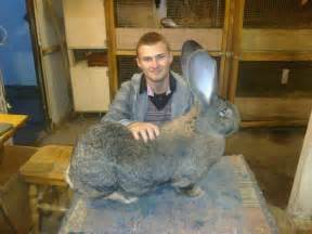 17 best images about flemish giant rabbits on pinterest big bunny cabbages and buns