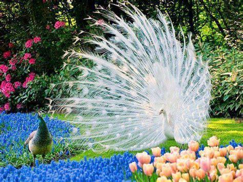 merak putih burung merak putih kecantikan memukau relaks minda