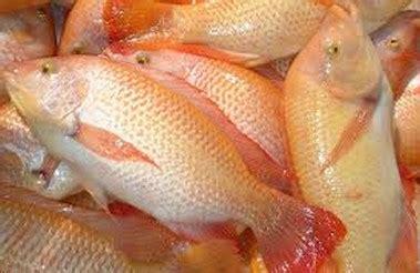 Bibit Ikan Nila Bekasi gi 225 c 225 ä i 234 u há ng tä ng mẠnh trá lẠi tin thá y sẠn