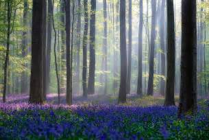 bluebell forest every spring this forest in belgium becomes a blue wonderland