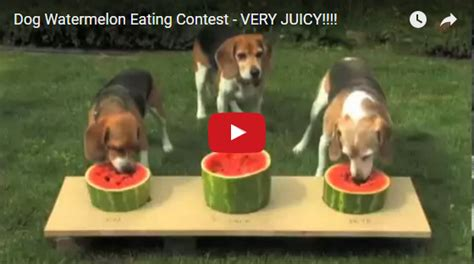 is watermelon bad for dogs watermelon contest beagle buddies
